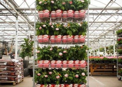 Snacker Tomato Rack Van Wingerden Greenhouses 01