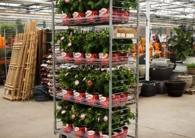 Snacker Tomato Rack Van Wingerden Greenhouses 02