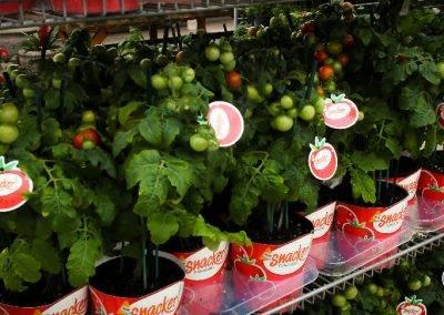 Snacker Tomato Rack Van Wingerden Greenhouses 03