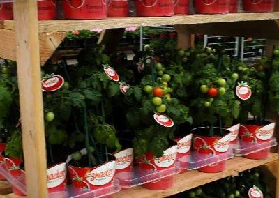 Snacker Tomato Rack Van Wingerden Greenhouses 06