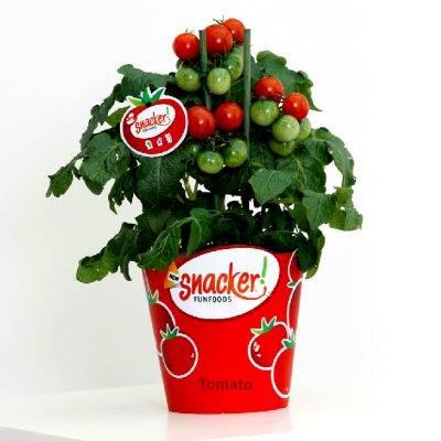 Snacker Tomato - Week 21