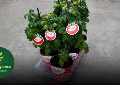 Snacker Tomato - Week 21-facebook